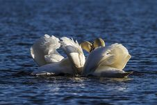 Free Bird, Swan, Water Bird, Seabird Royalty Free Stock Photography - 114130967