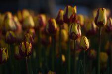 Beautiful Spring Flowers, Tulips Royalty Free Stock Image