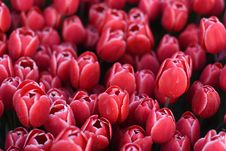 Free Beautiful Spring Flowers, Tulips Stock Photos - 114223933