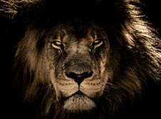 Free Wildlife, Lion, Black, Face Royalty Free Stock Photography - 114227117
