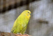Free Bird, Common Pet Parakeet, Parakeet, Parrot Stock Photos - 114227323