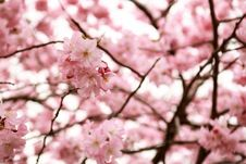 Free Blossom, Flower, Pink, Cherry Blossom Royalty Free Stock Images - 114227429