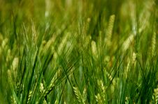 Free Grass, Field, Grass Family, Crop Royalty Free Stock Photos - 114227518