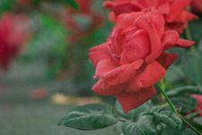 Free Rose, Rose Family, Flower, Red Stock Photos - 114227583