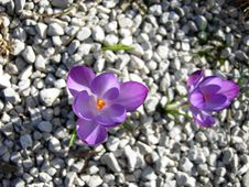 Free Flower, Plant, Crocus, Purple Stock Images - 114227864