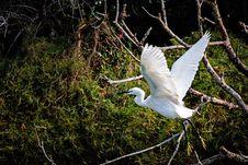 Free Bird, Fauna, Beak, Egret Royalty Free Stock Photography - 114227877