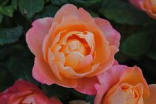Free Rose, Flower, Rose Family, Floribunda Royalty Free Stock Photos - 114227998