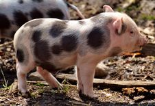 Free Pig Like Mammal, Domestic Pig, Pig, Mammal Stock Photography - 114228022