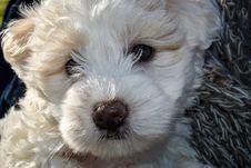 Free Dog Like Mammal, Dog, Dog Breed, Maltese Stock Photos - 114228053
