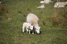 Free Pasture, Grassland, Grazing, Sheep Stock Photos - 114228113