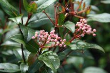 Free Plant, Heteromeles, Pistacia Lentiscus, Viburnum Royalty Free Stock Images - 114228129
