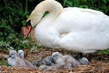Free Bird, Water Bird, Swan, Ducks Geese And Swans Royalty Free Stock Photo - 114228175