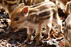 Free Pig Like Mammal, Fauna, Pig, Mammal Stock Image - 114228211