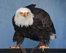 Free Eagle, Bird Of Prey, Beak, Bald Eagle Royalty Free Stock Photos - 114296438