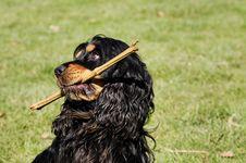 Free Dog, Dog Like Mammal, Dog Breed, Grass Royalty Free Stock Images - 114296569