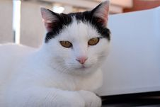 Free Cat, White, Whiskers, Small To Medium Sized Cats Stock Image - 114296741