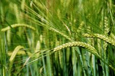 Free Food Grain, Field, Barley, Triticale Stock Images - 114296894
