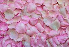 Free Pink, Flower, Petal, Rose Family Stock Photos - 114297423