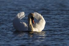 Free Swan, Bird, Water Bird, Ducks Geese And Swans Royalty Free Stock Images - 114297589