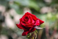 Free Bokeh Photography Of Red Rose Stock Images - 114321124