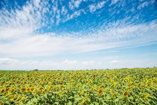 Free Sunflower Filed Royalty Free Stock Images - 114321189