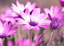 Free Selective Photo Of Purple Daisy Flowers Stock Photos - 114378623