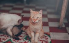Free Close-Up Photography Of Orange Tabby Cat Stock Photo - 114510580