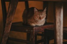 Free Photography Of A Cat Lying On Wooden Chair Royalty Free Stock Photo - 114510595