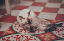 Free Photography Of White Siamese Cat Lying On Floor Stock Photo - 114510600