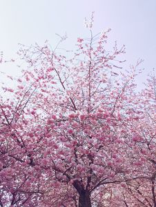 Free Photo Of Cherry Blossom Tree Stock Photos - 114510653