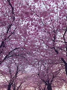Free Cherry Blossom Trees Royalty Free Stock Photography - 114510657