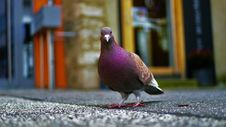 Free Purple Pigeon Standing On Black Concrete Surface Royalty Free Stock Photos - 114510678