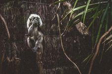 Free Photo Of Black And Gray Primate Standing In Front Of Brown Wooden Surface Royalty Free Stock Image - 114510736