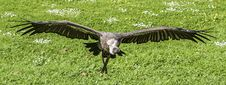 Free Black And Gray Vulture Flying At Daytime Stock Photo - 114510760