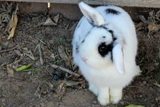 Free White And Black Rabbit On Brown Soil Royalty Free Stock Images - 114510809
