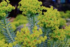 Free Selective Focus Photography Green Euphorbia Milii Flowers Stock Photo - 114510870