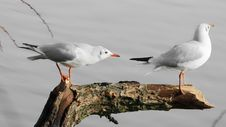 Free Photo Of Two Seagulls Perched On Tree Branch Stock Photos - 114510883