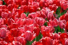 Free Tulips Stock Photos - 11463103