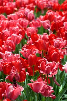 Free Tulips Royalty Free Stock Photography - 11463117