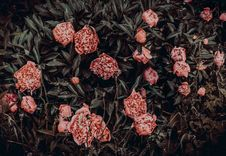 Free Photography Of Pink Flowers Near Leaves Royalty Free Stock Images - 114603009