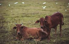 Free Two Brown Cows Lying And Standing On Green Grass Stock Images - 114603094