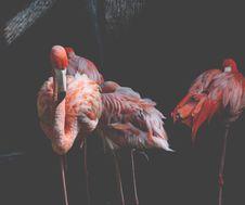 Free Three Pink Flamingos Stock Photography - 114603172