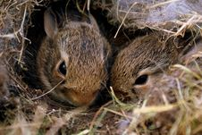Free Two Brown Rabbits Stock Photos - 114603173