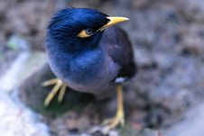 Free Focus Photography Of Common Myna Bird Royalty Free Stock Photo - 114603205