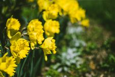 Free Close-Up Photography Of Yellow Daffodil Flowers Stock Photos - 114603313