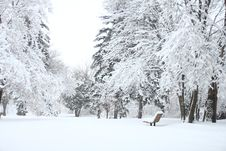 Free Photography Of Fir Trees Covered In SNow Royalty Free Stock Image - 114603316