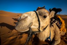 Free Front View Of A Camel At The Desert Area Royalty Free Stock Image - 114603396
