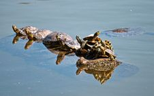 Free Group Of Turtles On Body Of Water Stock Photos - 114603433