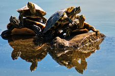 Free Four Brown Turtles On Brown Log Royalty Free Stock Images - 114603469