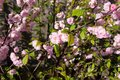 Free Pink Flowers On The Branches Stock Image - 114628221